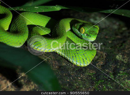 Green snake in forest stock photo, Green snake in forest Thailand by kamonrat