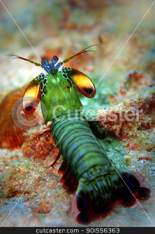 Peacock mantis shrimp stock photo, Peacock mantis shrimp at Palong divesite on Phi Phi, Thailand by Kjersti Jorgensen