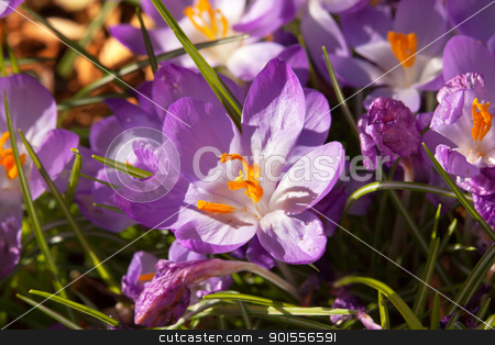 Purple Crocus Blooming Early Spring stock photo, Purple Crocus Blooming Early Spring in Seattle Washington. by William Perry