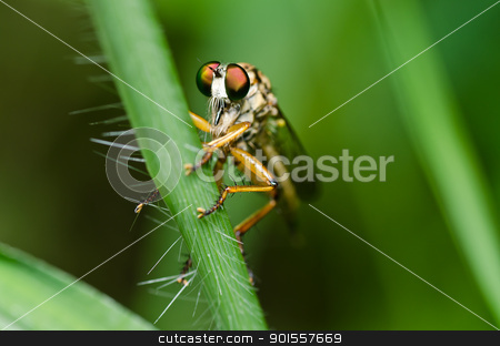 Robberfly in green nature stock photo, Robberfly in green nature or in the garden by sweetcrisis