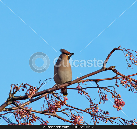Bohemian Waxwing on Rowan stock photo, Migrant bird Bohemian Waxwing on Rowan by Susan Robinson