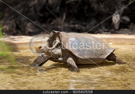 Galapagos tortoise stock photo, A Galapagos tortoise wading in water, Santa Cruz, Galapagos by Kjersti Jorgensen