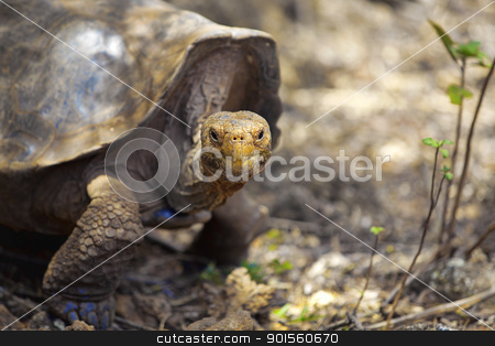Galapagos tortoise stock photo, A Galapagos tortoise eating leaves, Santa Cruz, Galapagos by Kjersti Jorgensen