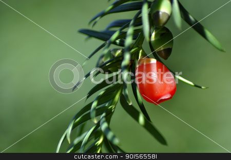 Red fruit pine tree. stock photo, Red fruit pine tree. Close up. by jmffotos