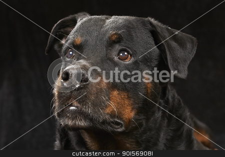 Pure bred rottweiler stock photo, Pure bred rottweiler - on black background by Eydfinnur Olsen