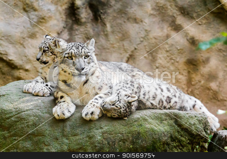 lying family of Snow Leopard stock photo, lying family of Snow Leopard Irbis (Panthera uncia) by Artush
