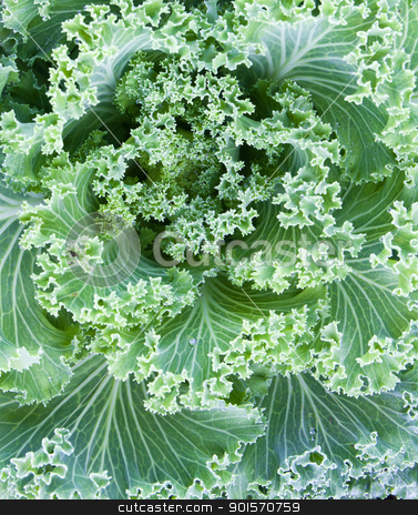 Fresh Cabbage  stock photo, Fresh Cabbage (brassica oleracea) plant leaves by stoonn