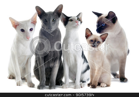 oriental and siamese cats stock photo, portrait of three oriental cats and two siamese cats in front of white background by Bonzami Emmanuelle