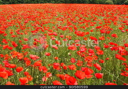 Fields of poppies in spring in France stock photo, Fields of poppies in spring in France by Chretien