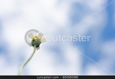 white flower weed and blue sky stock photo, white flower weed and blue sky by sweetcrisis