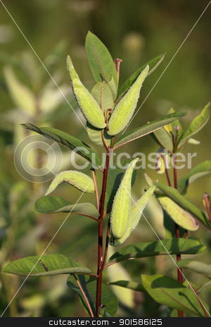 Common Milkweed stock photo, A vertical shot of Common Milkweed. (Asclepias syriaca) by Chris Hill
