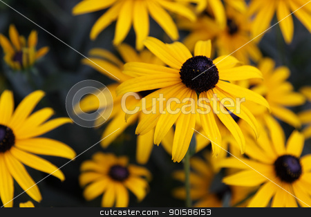 Black-eyed Susan Flower stock photo, A Black-eyed Susan (Rudbeckia hirta) flower in the midst of a flower bed.  by Chris Hill