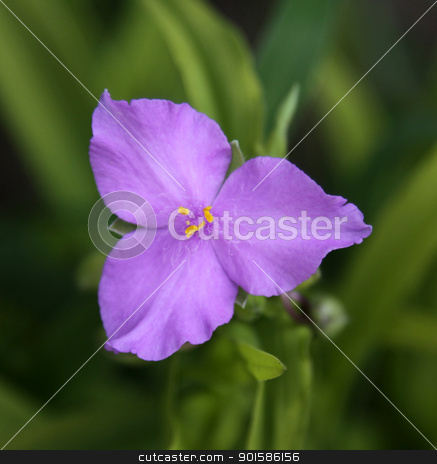 Sunshine Charm Spiderwort Flower stock photo, A flower from a Sunshine Charm Spiderwort Flower (Tradescantia) plant.  by Chris Hill