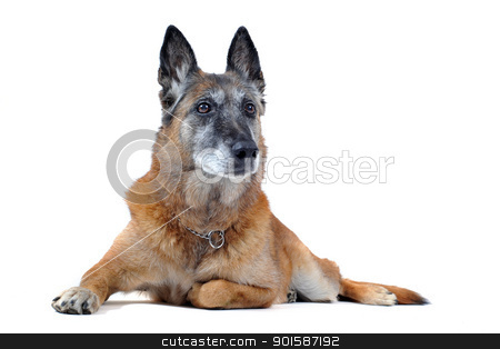 old malinois stock photo, old purebred belgian sheepdog malinois laid down in front of white background by Bonzami Emmanuelle