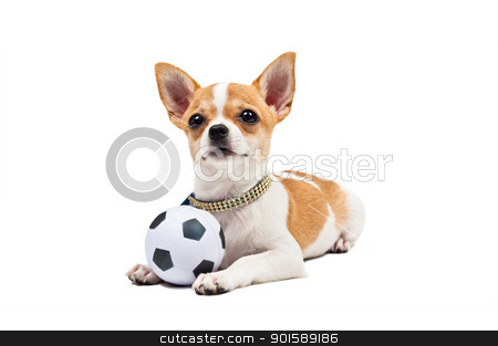 Pomeranian dog, young puppy, lies down with football stock photo, Pomeranian dog, young puppy, lies down with football, over white  by Ulrich Schade