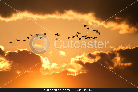 Canadian Geese Fly at Sunset stock photo, A flock of migratory Canadian Geese flying at sunset by Delmas Lehman