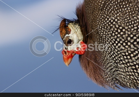 guinea hen looking like old woman stock photo, a guinea hen witch I found in an animal park by coroiu octavian