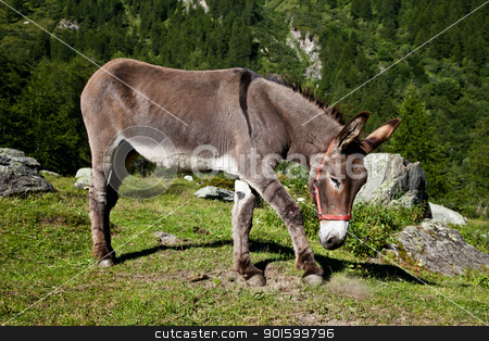 Donkey on Italian Alps stock photo, Orsiera Park, Piedmont Region, Italy: a donkey free in the park by Perseomedusa