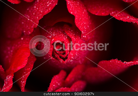 Red rose closeup stock photo, Red rose closeup with small water drops. by Homydesign