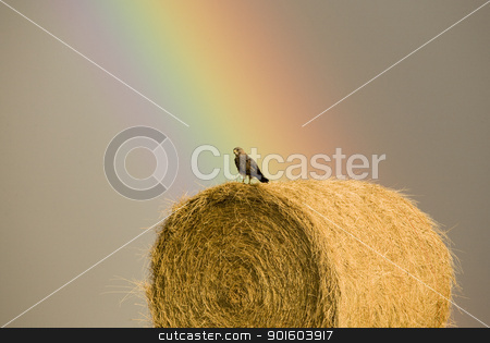 Swainson Hawks on Hay Bale stock photo, Swainson Hawks on Hay Bale after storm Saskatchewan Rainbow storm by Mark Duffy