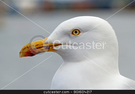 British seagull bird close up, stock photo, British seagull bird close up, by Stephen Rees