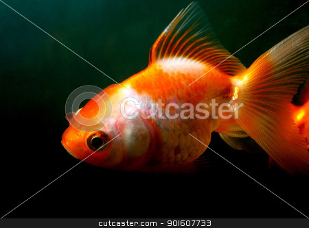 Male Goldfish stock photo, A lone male gold fish inside a home aquarium by Ferdinand Bernales
