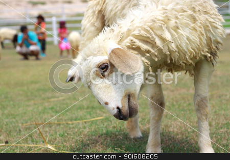 Sheep in farm stock photo, Sheep in farm by kamonrat