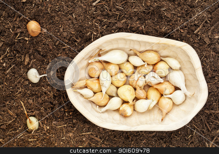 onion bulbs for planting stock photo, yellow and white onion for planting -  small bulbs in a  rustic wood bowl and some planted in garden soil by Marek Uliasz