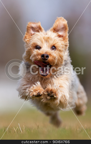 Yorkshire terrier stock photo, A happy Yorkshire terrier running at the camera, shallow depth of field with focus on the face by Steve Mcsweeny