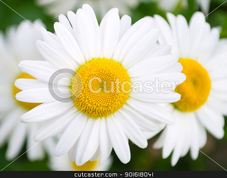 Closeup camomile stock photo, Closeup camomile on lawn. Selective focus by Imaster