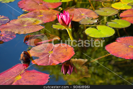 Pink Water Lilly Reflection Mission San Juan Capistrano Garden C stock photo, Pink Water Lilly Pond Reflection Mission San Juan Capistrano Garden California by William Perry