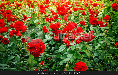 roses flowerbed stock photo, green field full of red wild roses by Petr Malyshev