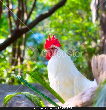 White Rooster stock photo, brightly colored cockerel in a field in springtime by Petr Malyshev