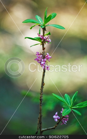 Daphne Mezereum stock photo, daphne mezereum sprout in bloom at springtime by Petr Malyshev
