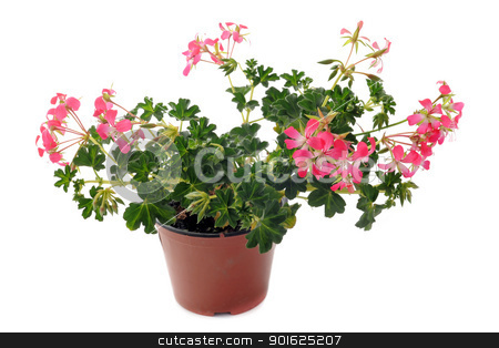 hanging geraniums stock photo, Close up of hanging geraniums, Pelargonium peltatum, in front of white backgournd by Bonzami Emmanuelle