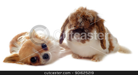 chihuahua and Lop Rabbit stock photo, portrait of a cute purebred  puppy chihuahua and bunny in front of white background by Bonzami Emmanuelle