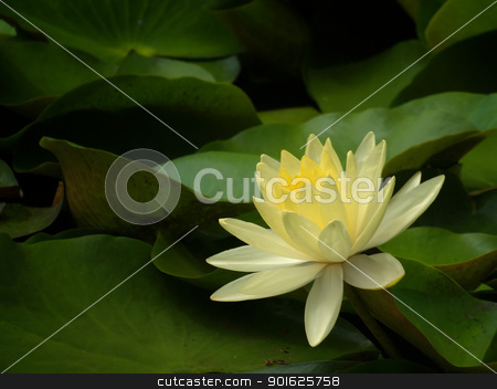 Lotus stock photo, Beautiful yellow lotus flower blossom in garden by Exsodus