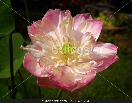 Lotus stock photo, Beautiful pink lotus flower blossom in garden by Exsodus