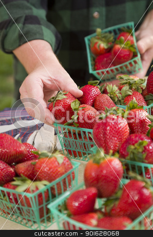 Farmer Gathering Fresh Strawberries in Baskets stock photo, Farmer Gathering Fresh Red Strawberries in Baskets. by Andy Dean