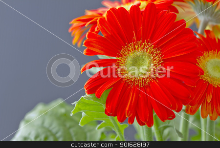 Gerbera stock photo, A red gerbera over a black background by Fabio Alcini