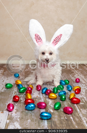 Easter bunny dog looking at chocolate eggs stock photo, A cute little dog dressed as easter bunny looking down at lots of delicious foil wrapped chocolate easter eggs. by Leah-Anne Thompson