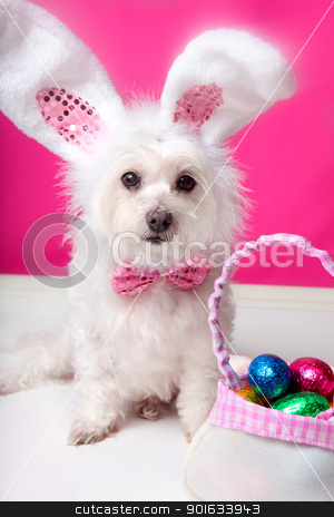 Easter dog with bunny ears and eggs stock photo, A dog wearing bunny ears sits beside a bag ful of delicious easter eggs. Pink background. Closeup by Leah-Anne Thompson