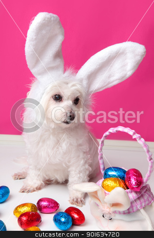 Beautiful puppy with bunny ears and easter eggs stock photo, An adorable white puppy dog sits among easter eggs.  Pink background. by Leah-Anne Thompson