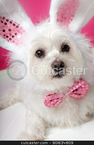 Pretty fluffy white dog in fancy bunny costume  stock photo, An adorable little dog with soft white fluffy fur, wearing sequin bunny ears and matching sequin bow tie.  Closeup. by Leah-Anne Thompson