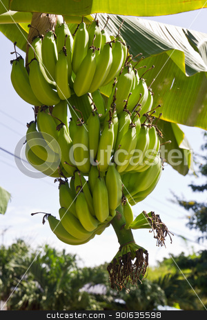 Green young bananas  stock photo, Green young bananas on top of it. by stoonn