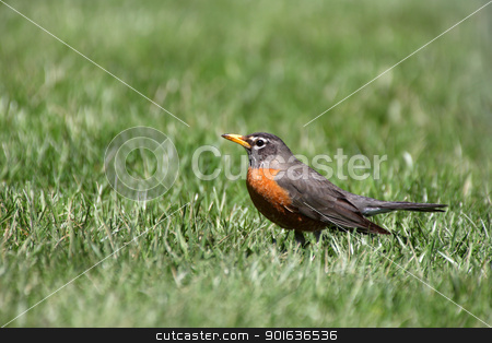 American Robin stock photo, Close up shot of beautiful Robin bird by Sreedhar Yedlapati