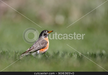 Robin bird stock photo, Close up shot of beautiful Robin bird by Sreedhar Yedlapati