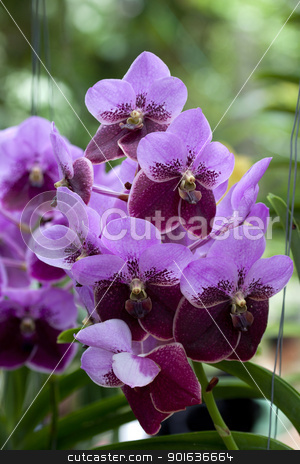 Beautiful purple and brown Orchid, Vanda hybrids in garden stock photo, Beautiful purple and brown Orchid, Vanda hybrids in garden by kamonrat