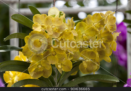 Beautiful yellow Orchid, Vanda hybrids in garden stock photo, Beautiful yellow Orchid, Vanda hybrids in garden by kamonrat