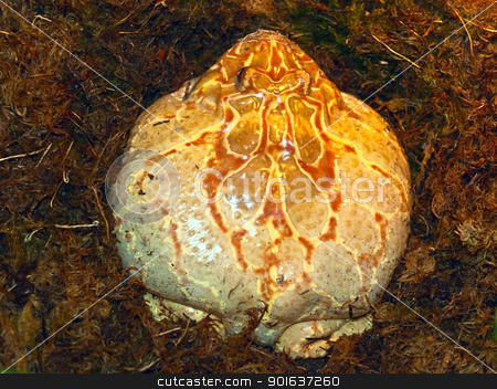 big toad stock photo, photo of the big brown stripped toad in the moss by Sergej Razvodovskij